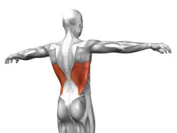 איור של שריר הגב הרחיב